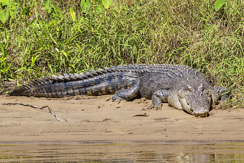 An adult wild saltwater crocodile (Crocodylus porosus), on the banks of the Daintree River, Daintree rain forest, Queensland, Australia, Pacific