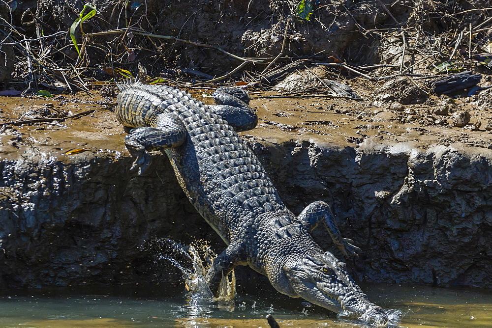 An adult wild saltwater crocodile (Crocodylus porosus) on the banks of the Daintree River, Daintree rain forest, Queensland, Australia, Pacific