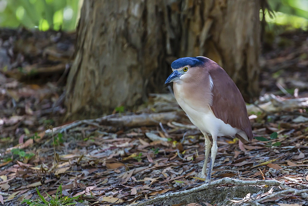 An adult nankeen night heron (Nycticorax caledonicus) on the banks of the Daintree River, Daintree rain forest, Queensland, Australia, Pacific