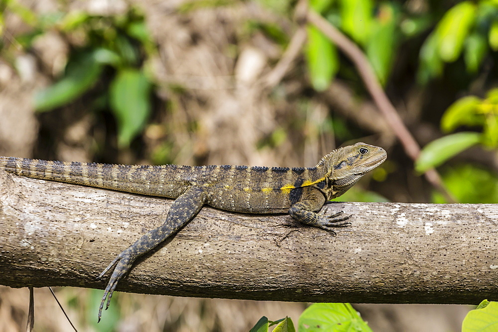 An adult eastern water dragon (Intellagama lesueurii lesueurii), along the Daintree River, Daintree rain forest, Queensland, Australia, Pacific