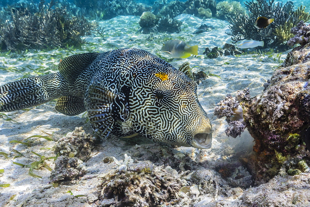 Map puffer (Arothron mappa) feeding on sponges on the house reef on Sebayur Island, Komodo Island National Park, Indonesia, Southeast Asia, Asia