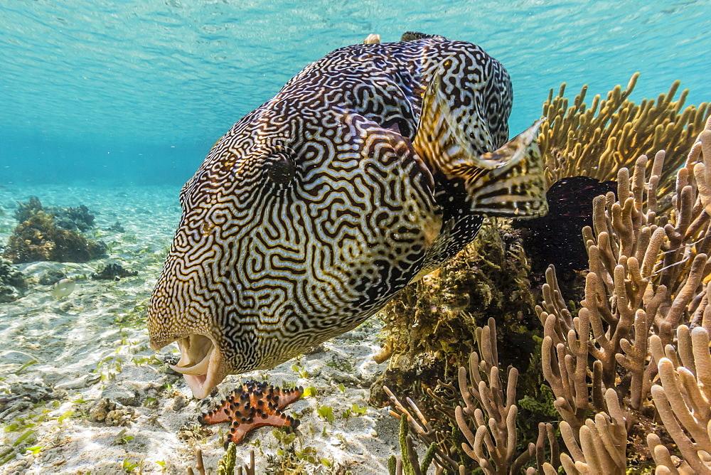 Map puffer (Arothron mappa) feeding on sponges on the house reef on Sebayur Island, Komodo Island National Park, Indonesia, Southeast Asia, Asia - 1112-2243