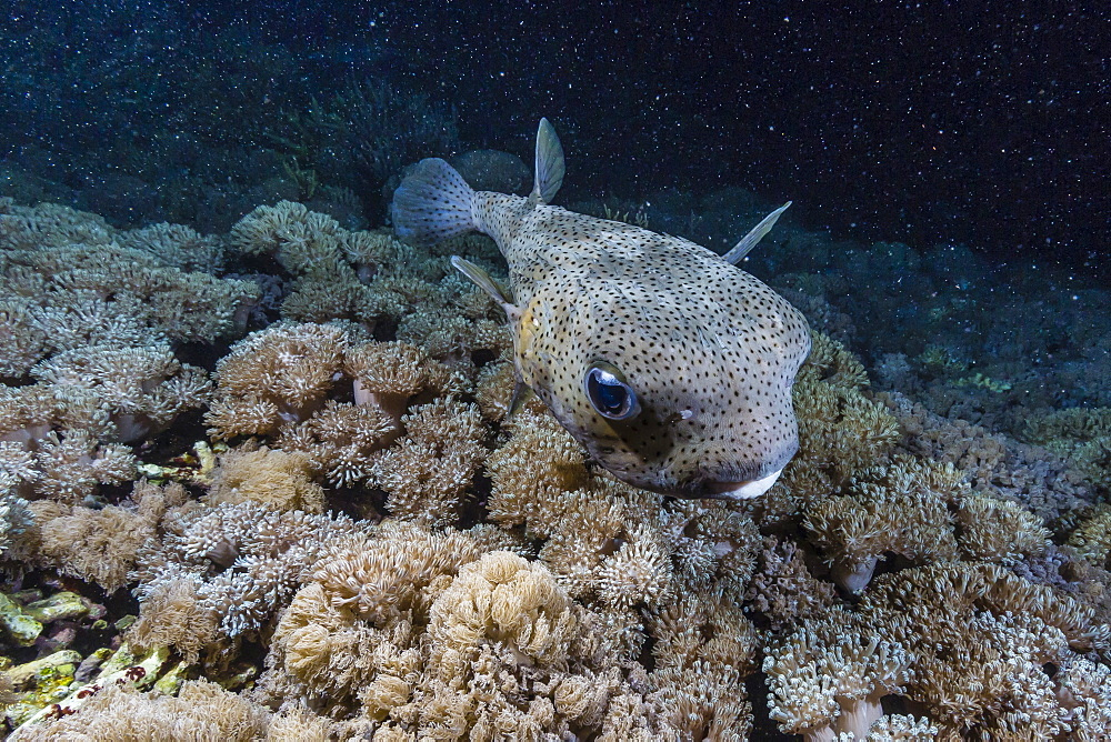 Porcupinefish (Diodon hystrix) at night on house reef at Sebayur Island, Komodo Island National Park, Indonesia, Southeast Asia, Asia