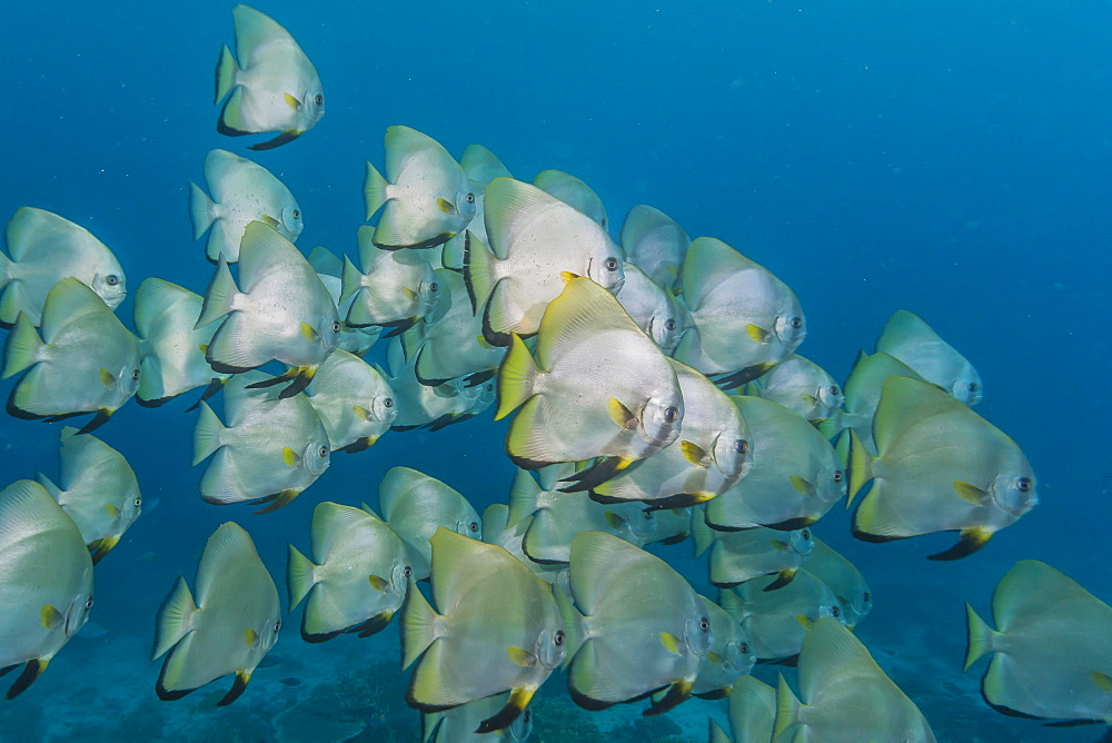 A school of batfish (Platax orbicularis) on Sebayur Island, Komodo Island National Park, Indonesia, Southeast Asia, Asia