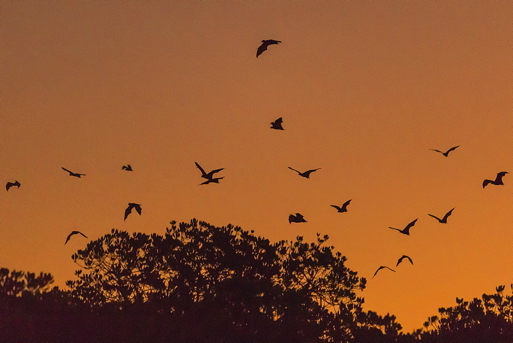 Flying foxes (Pteropus spp), take flight after sunset on Tengah Besar Island, Komodo Island National Park, Indonesia, Southeast Asia, Asia
