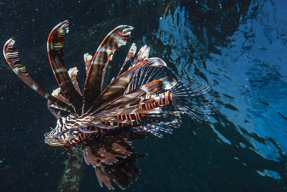 Common lionfish (Pterois volitans) at night near the dock of the Komodo Island Diving Resort, Sebayur Island, Komodo Island National Park, Indonesia, Southeast Asia, Asia