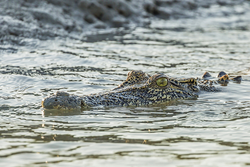 An adult wild saltwater crocodile (Crocodylus porosus) in the Hunter River in Mitchell River National Park, Kimberley, Western Australia, Australia, Pacific