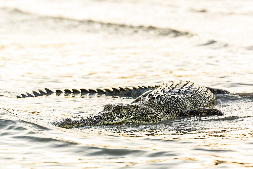 An adult wild saltwater crocodile (Crocodylus porosus) hunting on the banks of the Hunter River in Mitchell River National Park, Kimberley, Western Australia, Australia, Pacific
