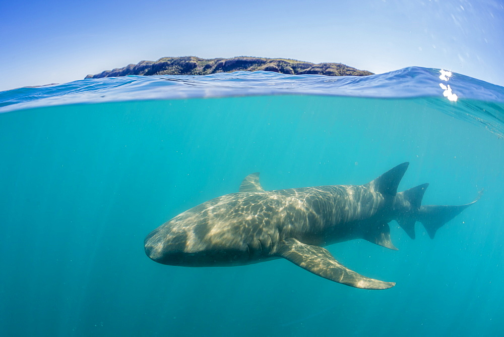 Above and below look at a tawny nurse shark (Nebrius ferrugineus) swimming in Talbot Bay, Kimberley, Western Australia, Australia, Pacific