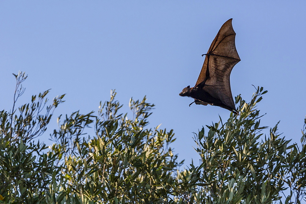 Black flying fox (Pteropus alecto) in flight on the Hunter River, Kimberley, Western Australia, Australia, Pacific