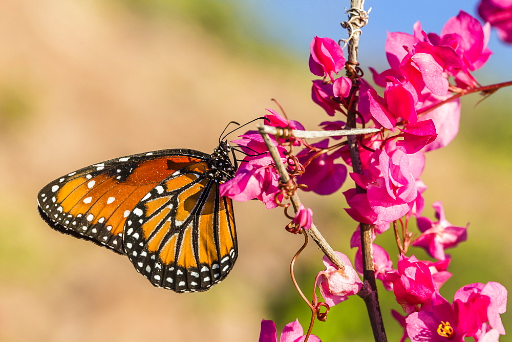 Queen butterfly (Danaus gilippus) on queen's wreath (Antigonon leptopus), Himalaya Beach, Sonora, Mexico, North America