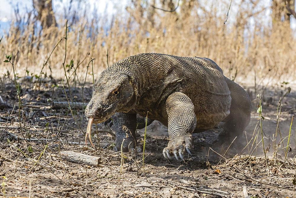 Adult Komodo dragon (Varanus komodoensis) in Komodo National Park, Komodo Island, Indonesia, Southeast Asia, Asia
