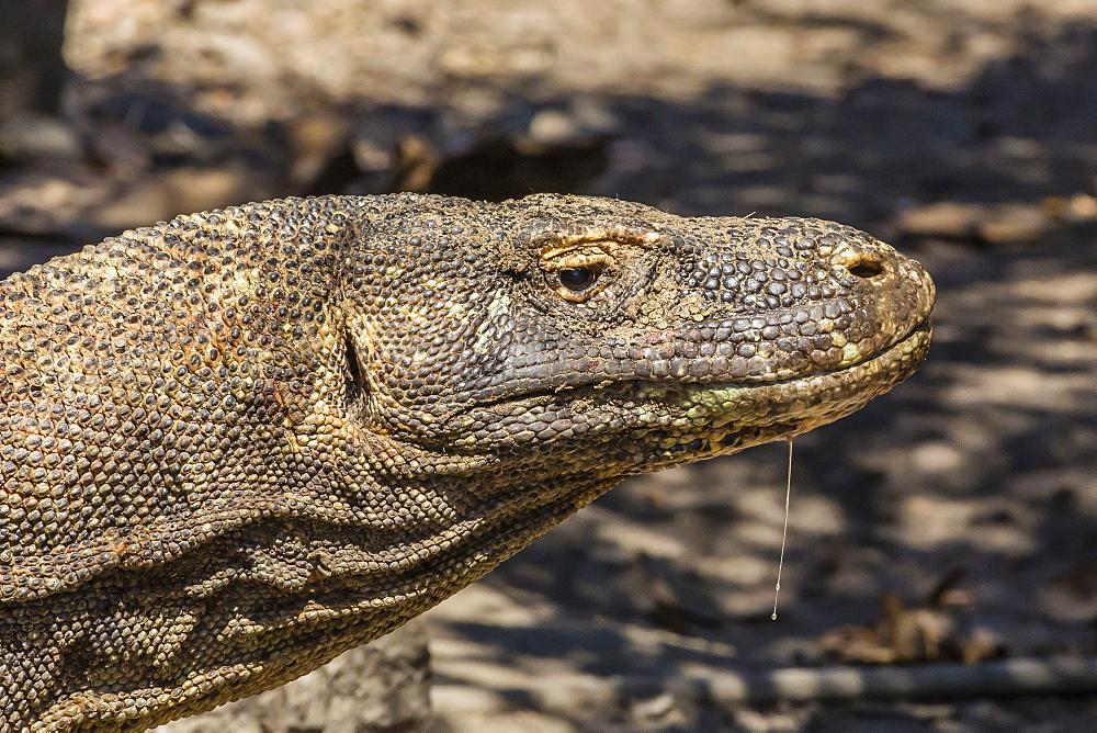 Adult Komodo dragon (Varanus komodoensis), in Komodo National Park, Komodo Island, Indonesia, Southeast Asia, Asia