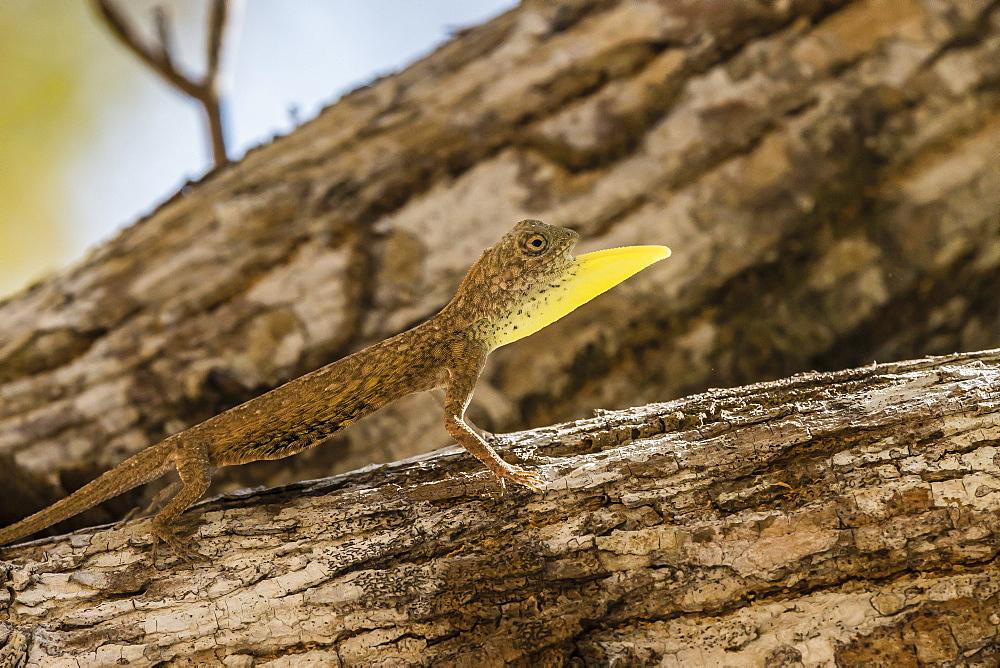 An adult male flying dragon (Draco spp), displaying its dewlap, Komodo National Park, Komodo Island, Indonesia, Southeast Asia, Asia