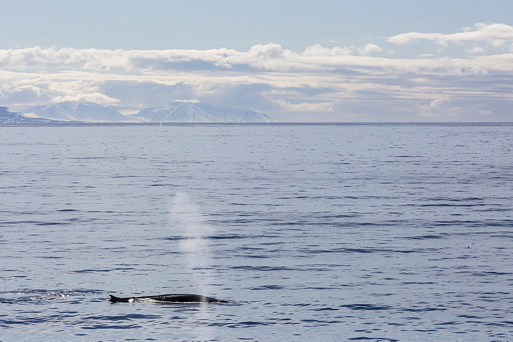 Adult fin whale (Balaenoptera physalus) surfacing near Hornsund, Spitsbergen, Svalbard, Arctic, Norway, Scandinavia, Europe