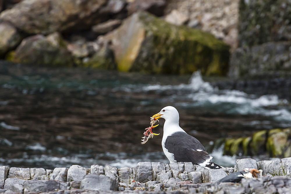 Adult glaucous gull (Larus hyperboreus) with bird kill at Bjornoya, Bear Island, Norway, Scandinavia, Europe
