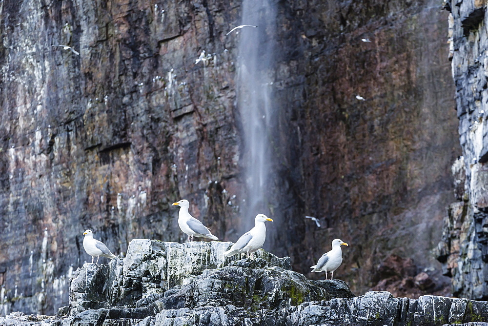 Adult glaucous gulls (Larus hyperboreus) at Bjornoya, Bear Island, Norway, Scandinavia, Europe