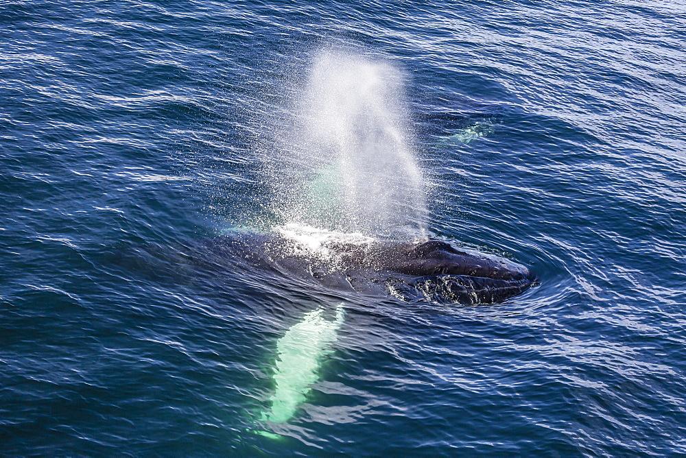 Adult humpback whale (Megaptera novaeangliae) feeding off the west coast of Spitsbergen, Svalbard, Arctic, Norway, Scandinavia, Europe