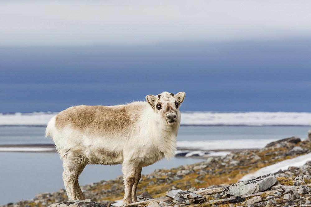 Svalbard reindeer (Rangifer tarandus) losing its winter coat in Varsolbukta, Bellsund, Spitsbergen, Arctic, Norway, Scandinavia, Europe