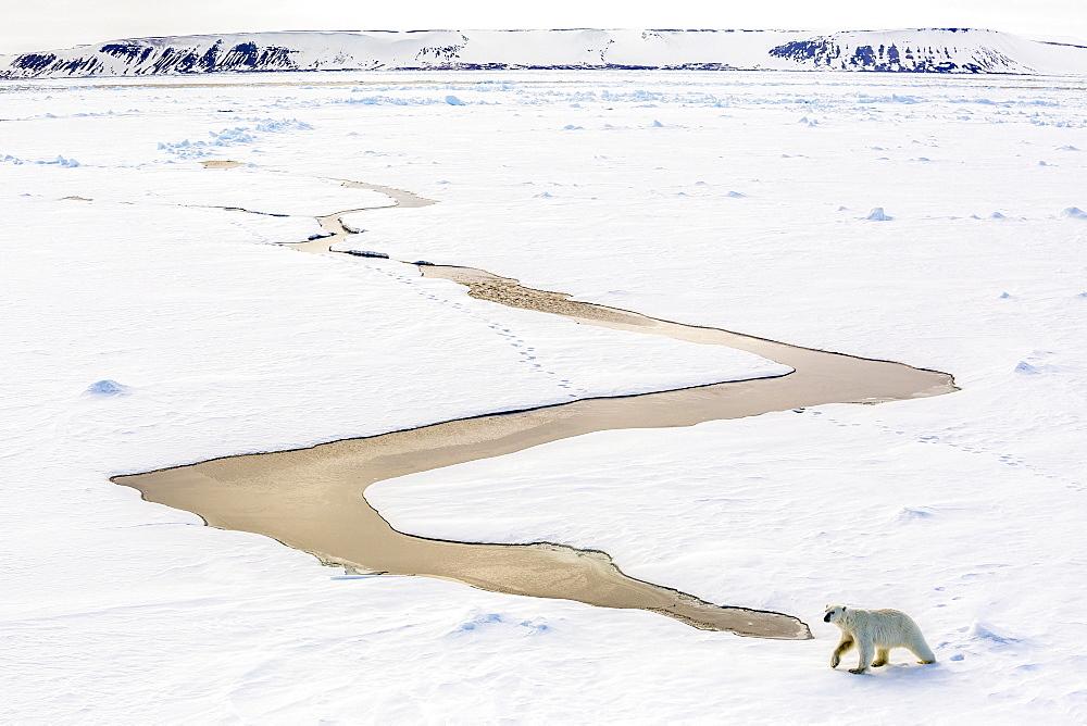 Adult polar bear (Ursus maritimus) on first year sea ice in Olga Strait, near Edgeoya, Svalbard, Arctic, Norway, Scandinavia, Europe - 1112-2555