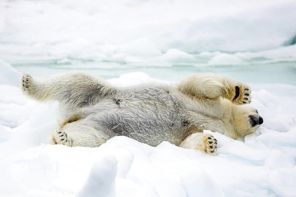 Adult polar bear (Ursus maritimus) stretching on first year sea ice in Olga Strait, near Edgeoya, Svalbard, Arctic, Norway, Scandinavia, Europe - 1112-2564