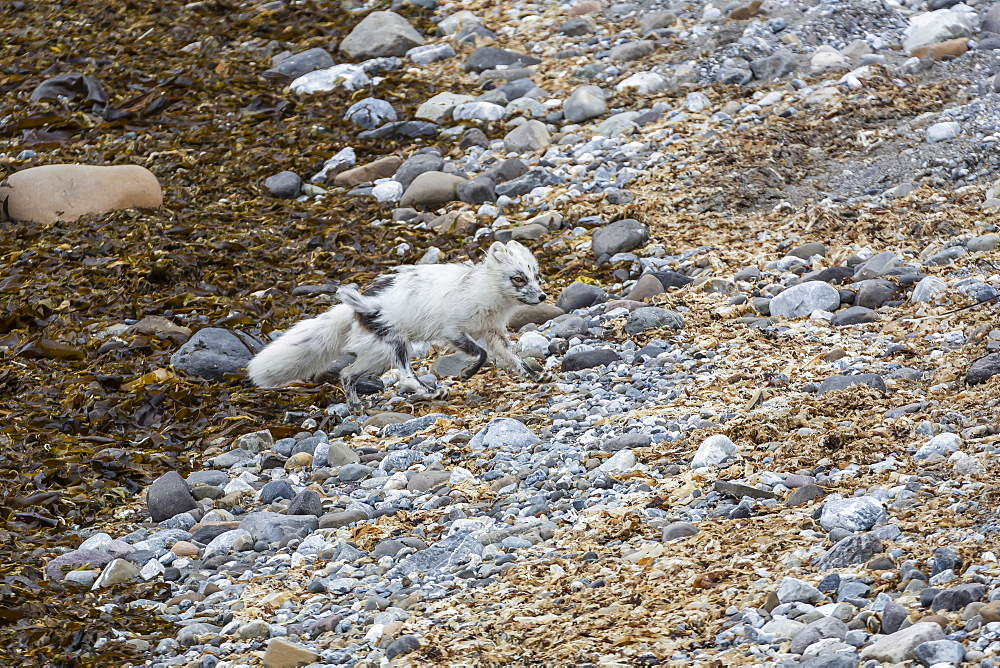 Adult arctic fox (Vulpes lagopus) losing its winter coat for its summer coat, Gnalodden, Hornsund, Spitsbergen, Svalbard, Arctic, Norway, Scandinavia, Europe