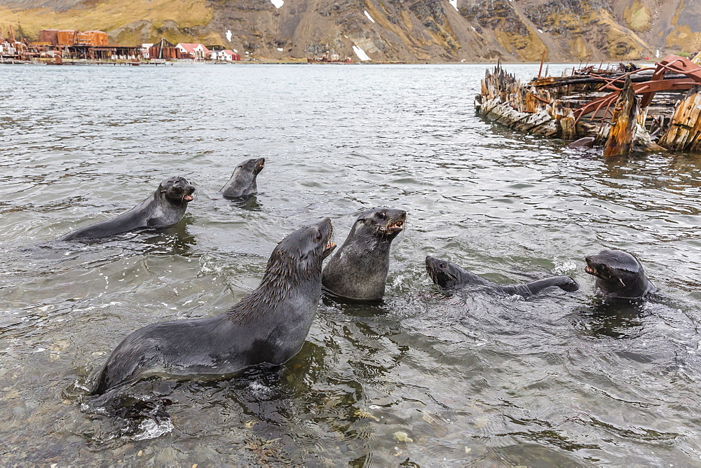 Young Antarctic fur seals (Arctocephalus gazella) mock fighting in Grytviken Harbor, South Georgia, Polar Regions