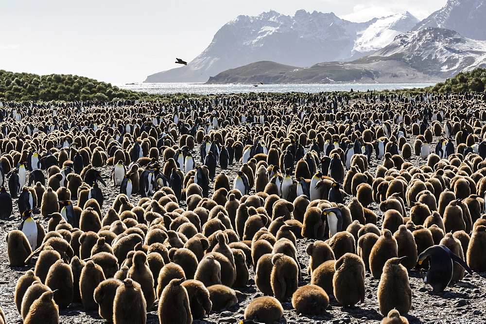 Adult and juvenile king penguins (Aptenodytes patagonicus), at breeding colony at Salisbury Plain, South Georgia, Polar Regions - 1112-2747