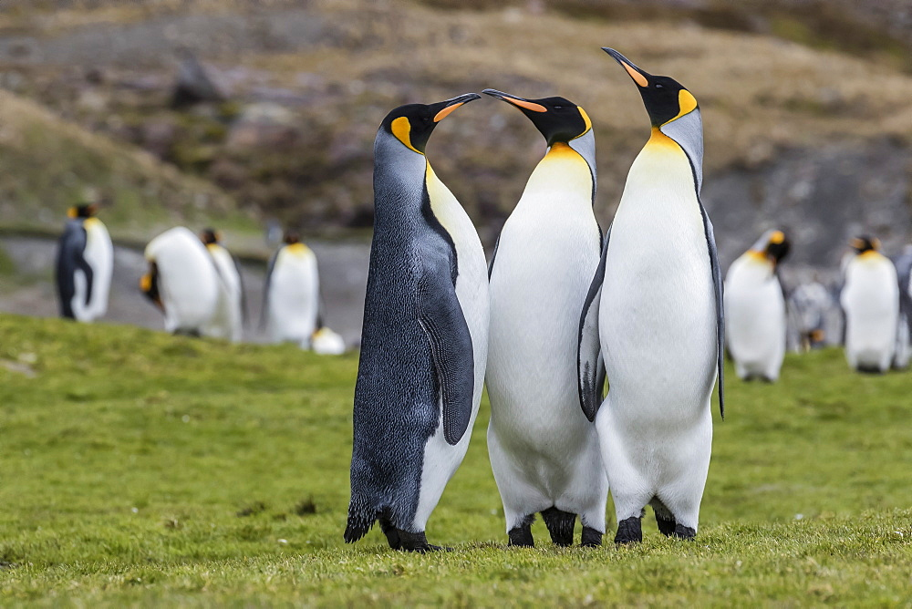 Adult king penguins (Aptenodytes patagonicus) at breeding colony at Fortuna Bay, South Georgia, Polar Regions