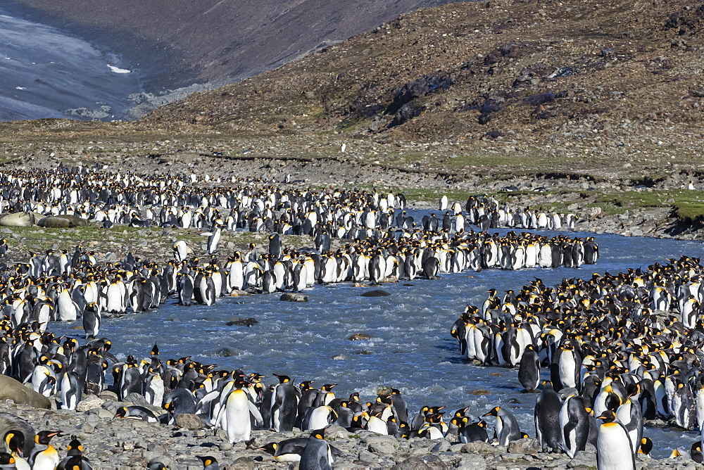 King penguin (Aptenodytes patagonicus) breeding colony at St. Andrews Bay, South Georgia, Polar Regions