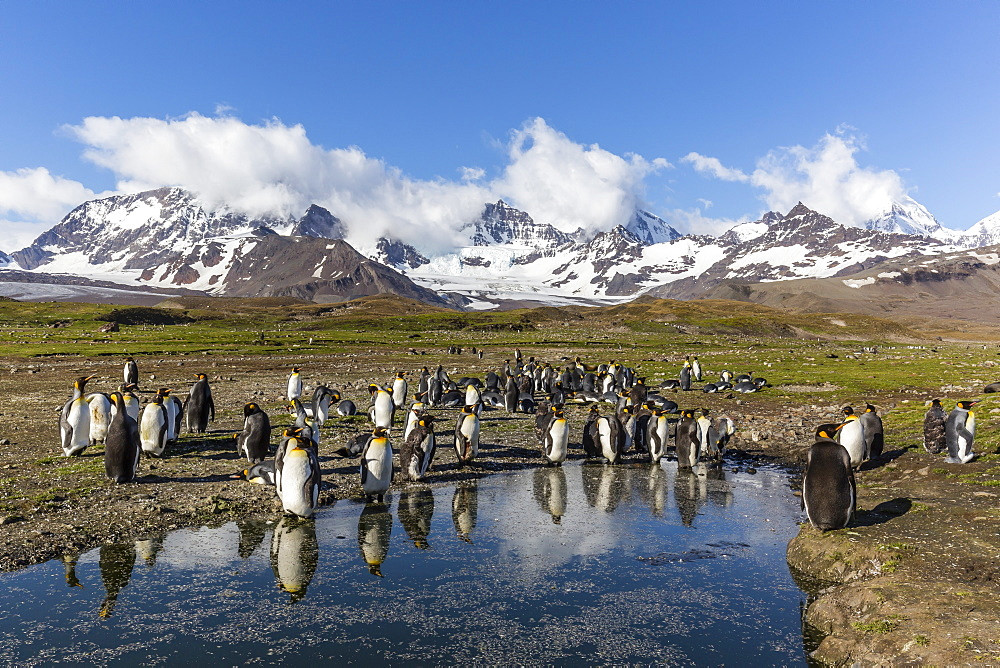 King penguins (Aptenodytes patagonicus) in early morning light at St. Andrews Bay, South Georgia, Polar Regions