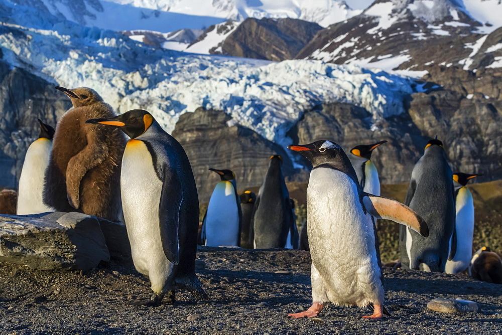 King penguins (Aptenodytes patagonicus), with gentoo penguin (Pygoscelis papua), Gold Harbor, South Georgia, Polar Regions