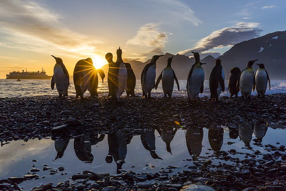 King penguins (Aptenodytes patagonicus) at sunrise, in St. Andrews Bay, South Georgia, Polar Regions