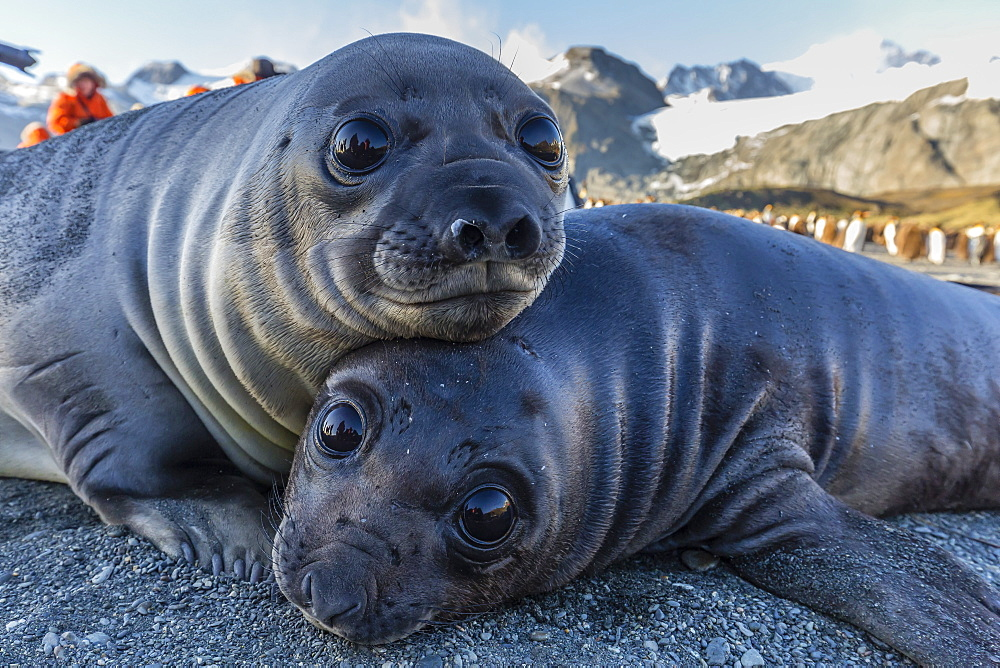 Southern elephant seal pups (Mirounga leonina), Gold Harbor, South Georgia, Polar Regions