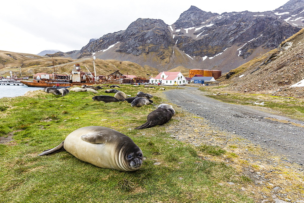 Southern elephant seal pups (Mirounga leonina) after weaning in Grytviken Harbor, South Georgia, Polar Regions