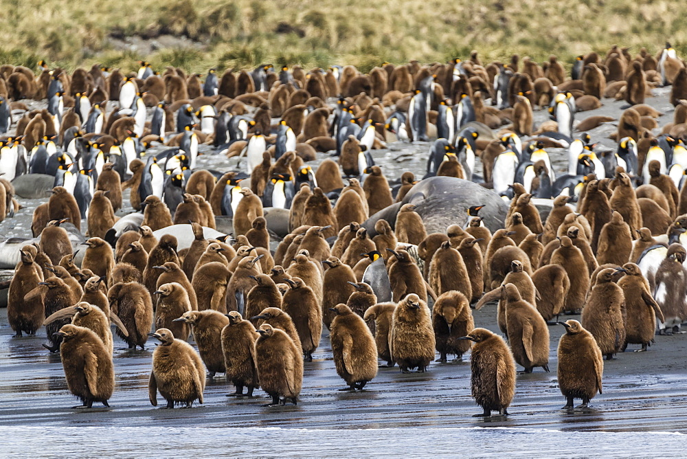 Adult king penguins and okum boy chicks (Aptenodytes patagonicus) heading to sea in Gold Harbor, South Georgia, Polar Regions