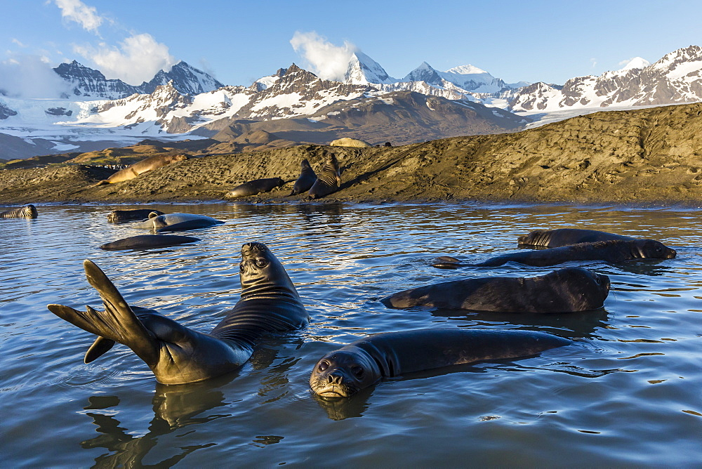 Southern elephant seal pups (Mirounga leonina), in melt water pond, St. Andrews Bay, South Georgia, Polar Regions