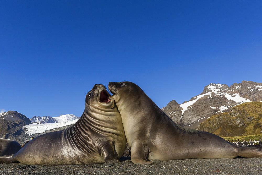Male southern elephant seal pups (Mirounga leonina) mock-fighting, Gold Harbor, South Georgia, Polar Regions