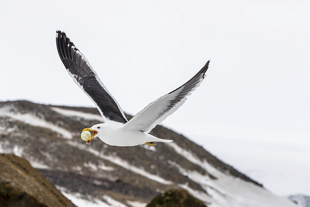 Adult kelp gull (Larus dominicanus) with stolen Adelie penguin egg in its bill at Brown Bluff, Antarctica, Polar Regions