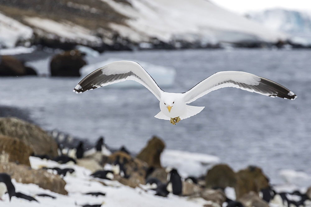 Adult kelp gull (Larus dominicanus) in flight at Brown Bluff, Antarctic Sound, Antarctica, Polar Regions