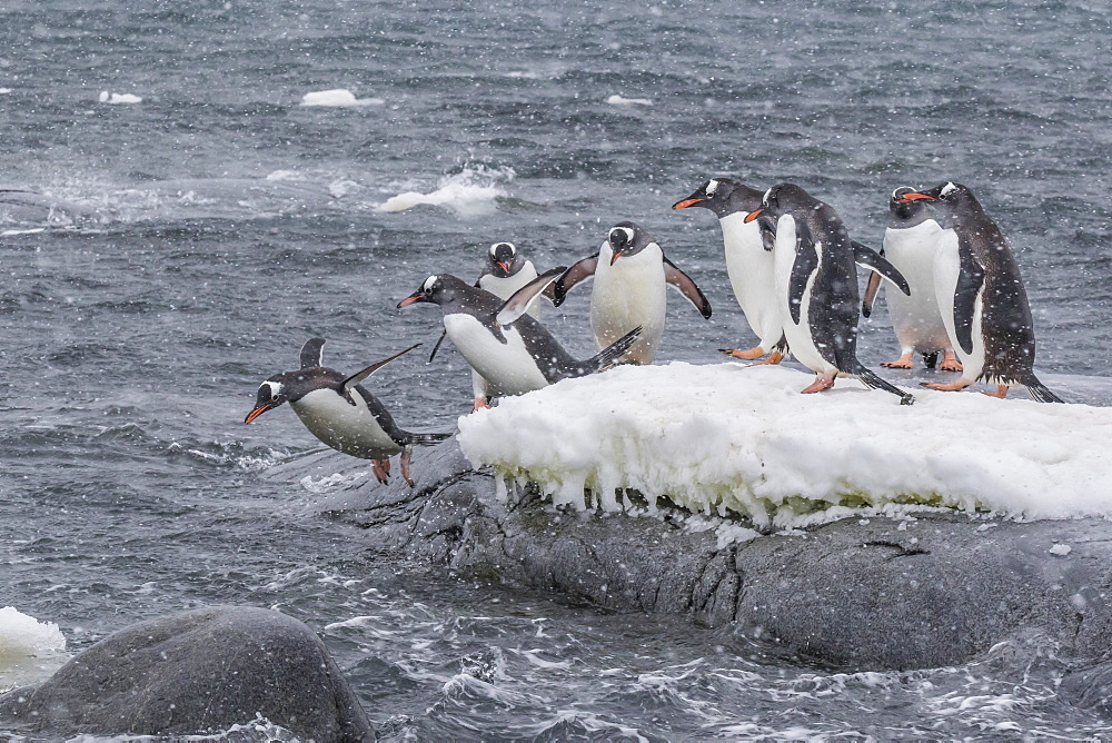Gentoo penguins (Pygoscelis papua) returning to sea from breeding colony at Port Lockroy, Antarctica, Polar Regions