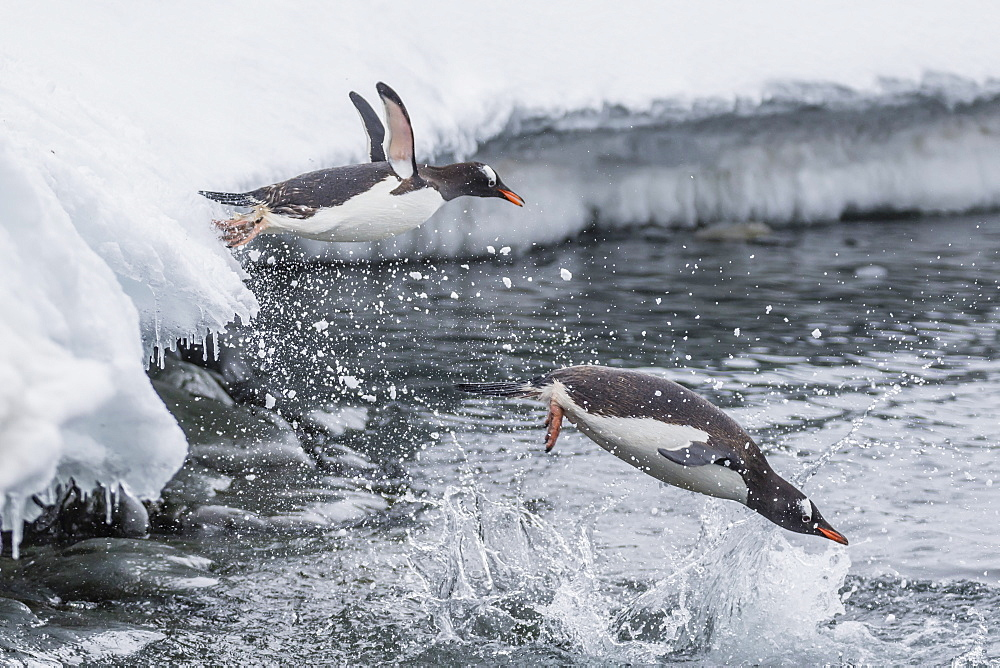 Gentoo penguins (Pygoscelis papua) leaping into the sea at Booth Island, Antarctica, Polar Regions