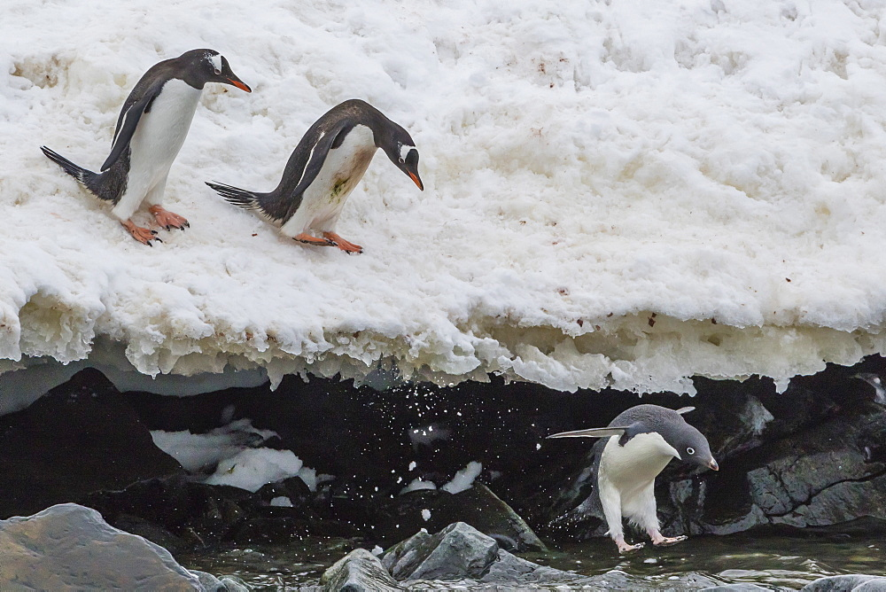 Gentoo penguins (Pygoscelis papua) leaping into the sea with Adelie penguin at Booth Island, Antarctica, Polar Regions