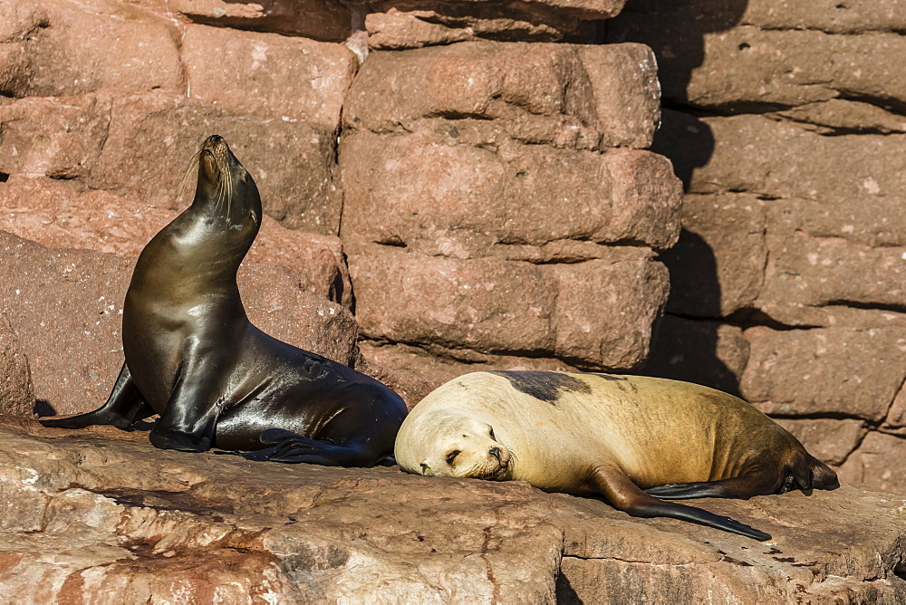 California sea lions (Zalophus californianus) hauled out on Los Islotes, Baja California Sur, Mexico, North America