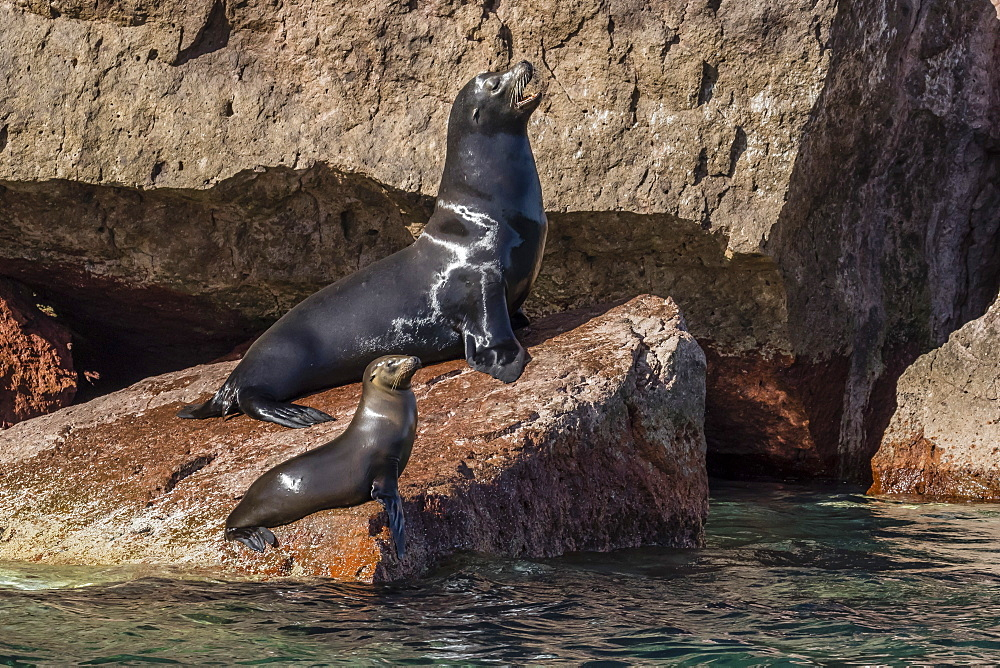 California sea lion (Zalophus californianus) bull and pup hauled out on Los Islotes, Baja California Sur, Mexico, North America