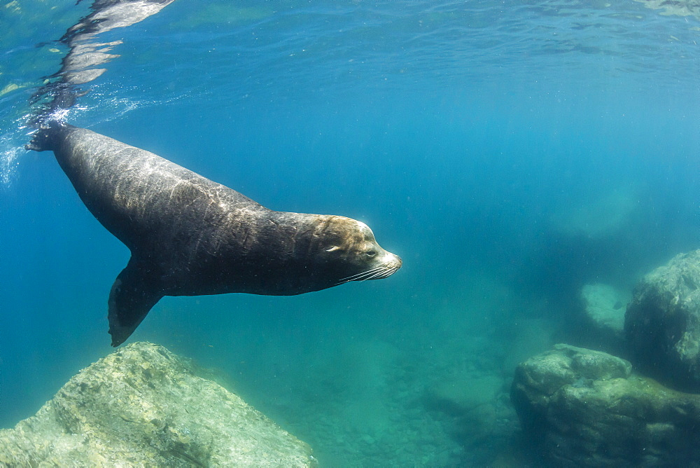 Adult California sea lion (Zalophus californianus) bull underwater at Los Islotes, Baja California Sur, Mexico, North America