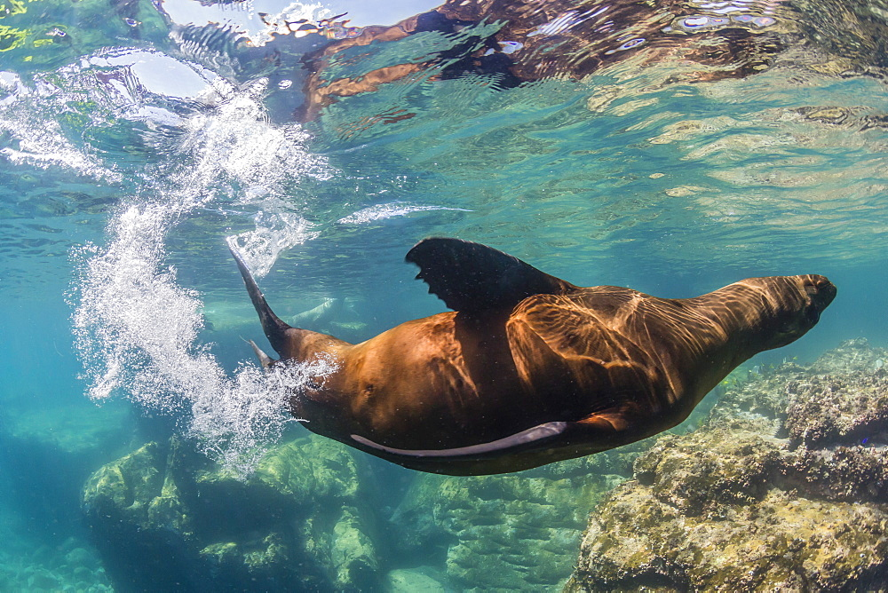 Adult California sea lion (Zalophus californianus) underwater at Los Islotes, Baja California Sur, Mexico, North America