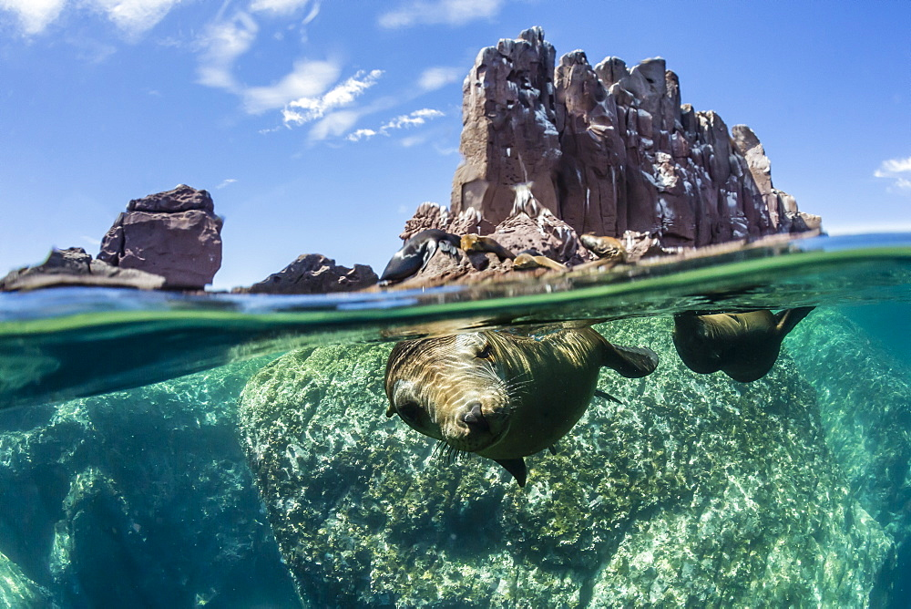 California sea lions (Zalophus californianus), half above and half below at Los Islotes, Baja California Sur, Mexico, North America