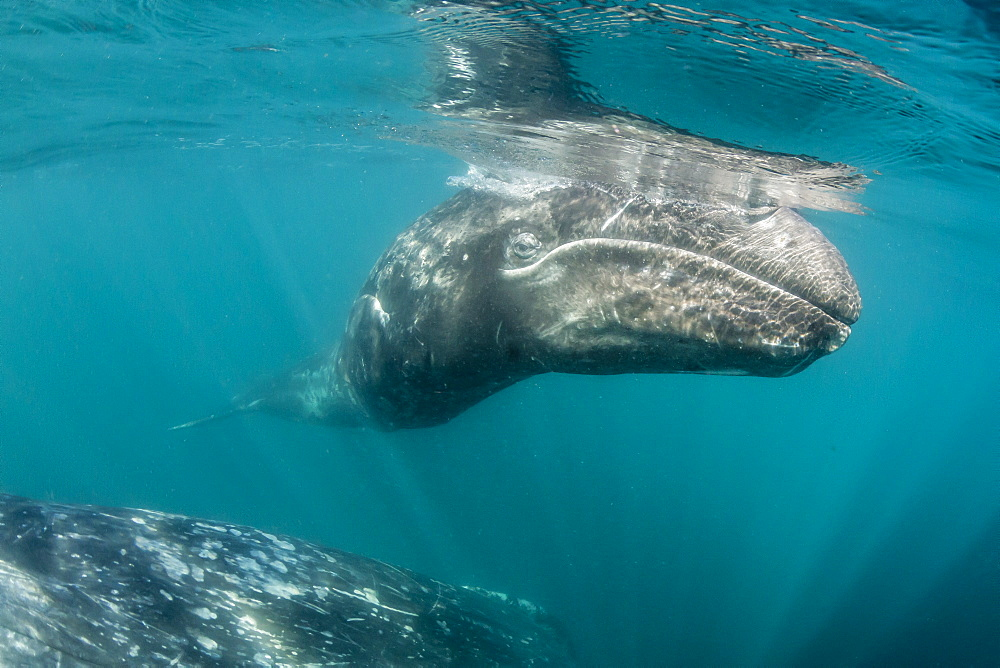 California gray whale (Eschrichtius robustus) mother and calf underwater in San Ignacio Lagoon, Baja California Sur, Mexico, North America
