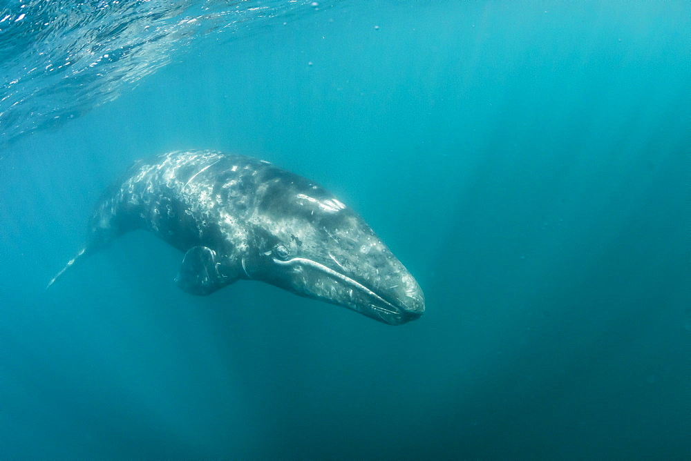 California gray whale (Eschrichtius robustus) calf underwater in San Ignacio Lagoon, Baja California Sur, Mexico, North America